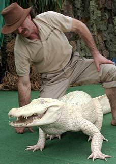 Встречайте белый аллигатор альбинос - 'самая шикарная тварь в мире'