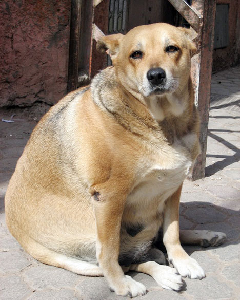 Canine Obesity: A Growing Epidemic Dog Tails