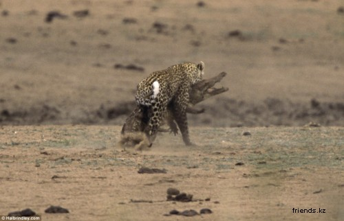 Леопард против крокодила