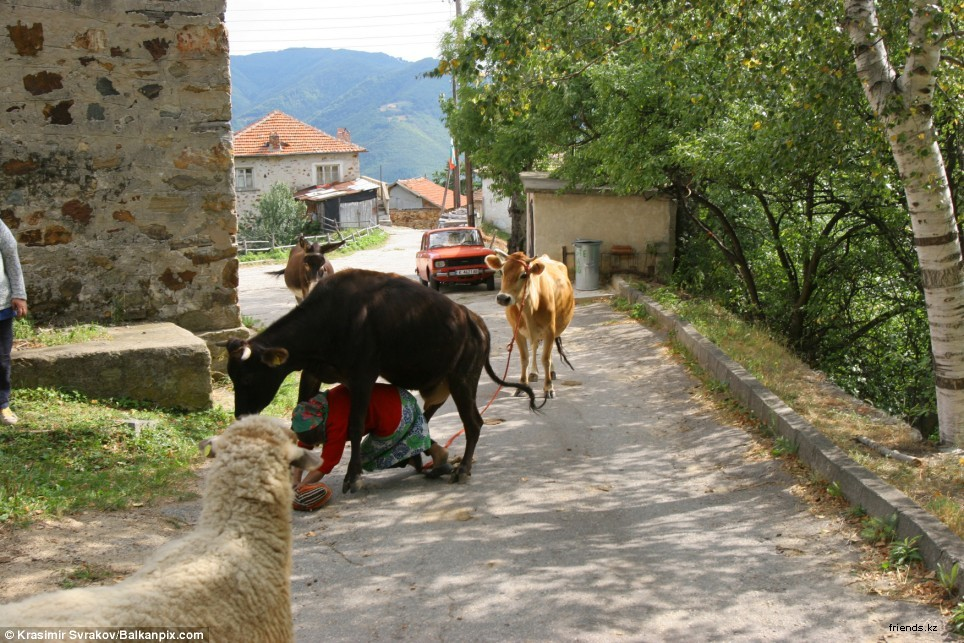 В Болгарии одна корова сильно обидела свою хозяйку, что та решила