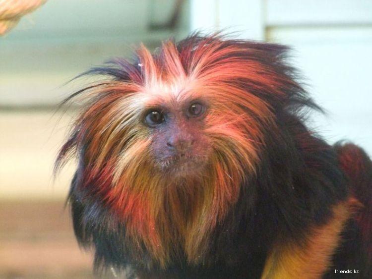 Причёски для обезьяны
