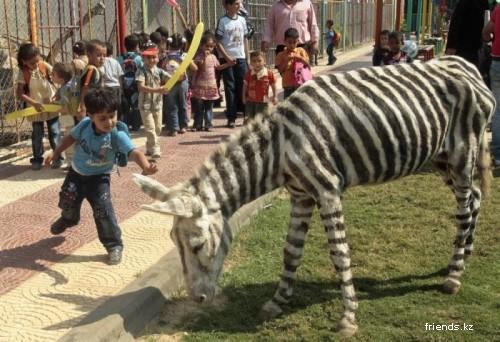 Зебры?