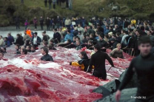 Забой китов на фарерских островах
