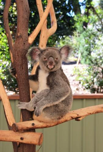 Кенгуру в Lone Pine Koala Sanctuary