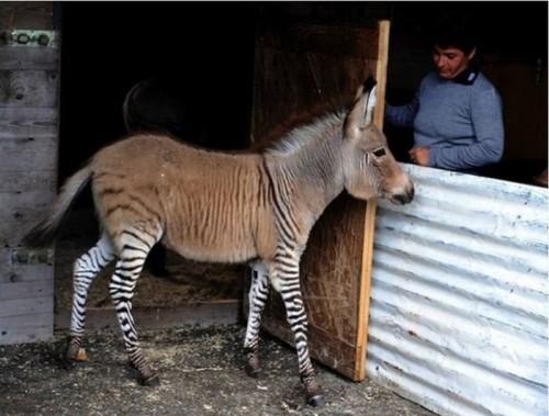 Зебро-ослик