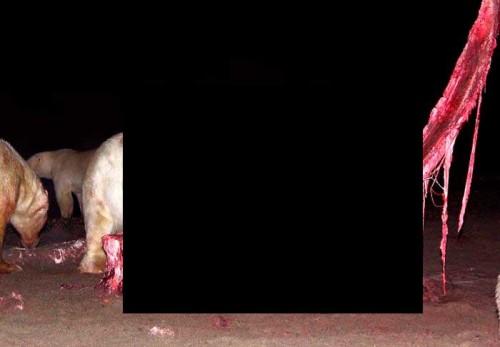 Белые медведи провели кровавую ночь