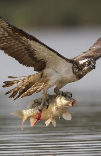сова рыболов